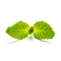 fresh mint isolated on white : Stock Photo or Stock Video Download rcfotostock photos, images and assets rcfotostock   RC-Photo-Stock.: