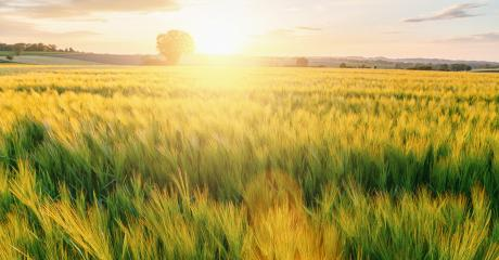 fresh Wheat flied with tree at sunset with clouds, agriculture concept image- Stock Photo or Stock Video of rcfotostock | RC-Photo-Stock