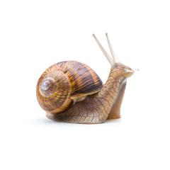garden snail : Stock Photo or Stock Video Download rcfotostock photos, images and assets rcfotostock | RC-Photo-Stock.: