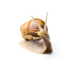 garden snail on white : Stock Photo or Stock Video Download rcfotostock photos, images and assets rcfotostock | RC-Photo-Stock.: