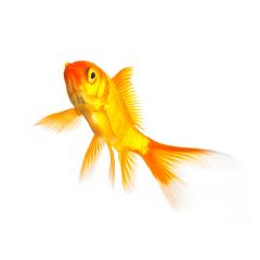 gold fish- Stock Photo or Stock Video of rcfotostock | RC-Photo-Stock