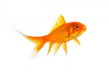 Gold fish (Carassius auratus) : Stock Photo or Stock Video Download rcfotostock photos, images and assets rcfotostock | RC-Photo-Stock.: