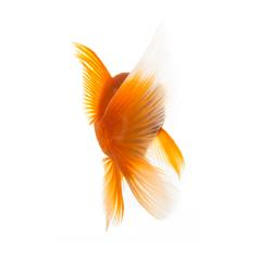 gold fish from behind : Stock Photo or Stock Video Download rcfotostock photos, images and assets rcfotostock | RC-Photo-Stock.:
