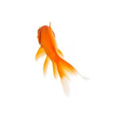 Gold fish from the rear : Stock Photo or Stock Video Download rcfotostock photos, images and assets rcfotostock | RC-Photo-Stock.: