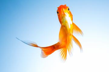 Gold fish in a fish tank : Stock Photo or Stock Video Download rcfotostock photos, images and assets rcfotostock | RC-Photo-Stock.: