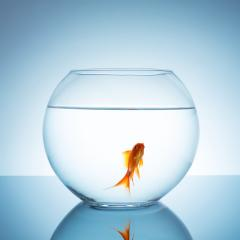Gold fish in a fishbowl- Stock Photo or Stock Video of rcfotostock | RC-Photo-Stock