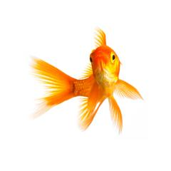 gold fish isolated on white : Stock Photo or Stock Video Download rcfotostock photos, images and assets rcfotostock | RC-Photo-Stock.: