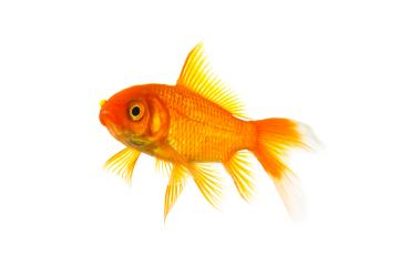 Gold fish isolated on white- Stock Photo or Stock Video of rcfotostock | RC-Photo-Stock