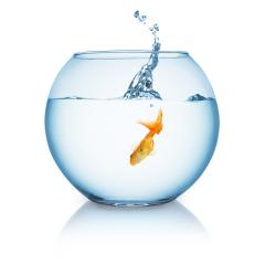 gold fish jumping in to a fishbowl- Stock Photo or Stock Video of rcfotostock | RC-Photo-Stock