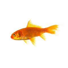 Gold fish on white- Stock Photo or Stock Video of rcfotostock | RC-Photo-Stock