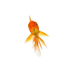 Gold fish on white : Stock Photo or Stock Video Download rcfotostock photos, images and assets rcfotostock | RC-Photo-Stock.: