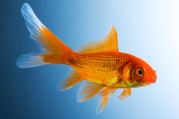 Gold fish underwater- Stock Photo or Stock Video of rcfotostock | RC-Photo-Stock