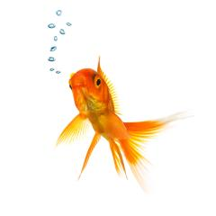 Gold fish with air bubbels- Stock Photo or Stock Video of rcfotostock | RC-Photo-Stock