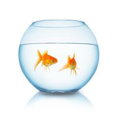 gold fishes in a fishbowl : Stock Photo or Stock Video Download rcfotostock photos, images and assets rcfotostock | RC-Photo-Stock.: