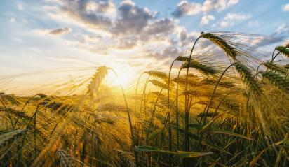 Gold Wheat flied panorama with tree at sunset - Stock Photo or Stock Video of rcfotostock | RC-Photo-Stock