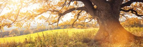 Golden autumn sun light falls through a oak tree, panorama- Stock Photo or Stock Video of rcfotostock | RC-Photo-Stock