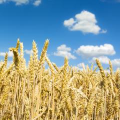 golden Cornfield agriculture landscape with blue cloudy sky in s : Stock Photo or Stock Video Download rcfotostock photos, images and assets rcfotostock | RC-Photo-Stock.:
