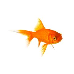 Golden goldfish : Stock Photo or Stock Video Download rcfotostock photos, images and assets rcfotostock | RC-Photo-Stock.: