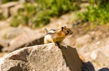Golden-mantled Ground Squirrel stand on a rock- Stock Photo or Stock Video of rcfotostock | RC-Photo-Stock