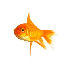 Goldfisch  : Stock Photo or Stock Video Download rcfotostock photos, images and assets rcfotostock | RC-Photo-Stock.: