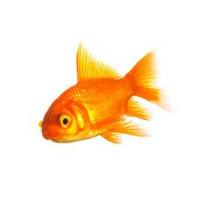 Goldfisch- Stock Photo or Stock Video of rcfotostock | RC-Photo-Stock