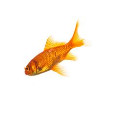 Goldfisch (Carassius auratus)- Stock Photo or Stock Video of rcfotostock | RC-Photo-Stock