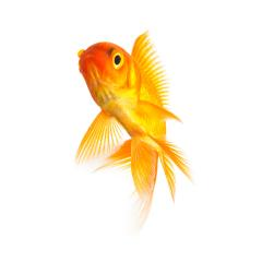 Goldfisch freisteller : Stock Photo or Stock Video Download rcfotostock photos, images and assets rcfotostock | RC-Photo-Stock.: