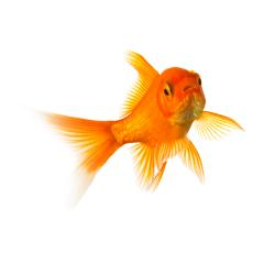 Goldfisch schwimmt : Stock Photo or Stock Video Download rcfotostock photos, images and assets rcfotostock | RC-Photo-Stock.: