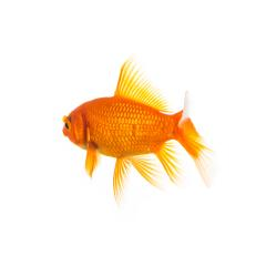 Goldfisch von hinten : Stock Photo or Stock Video Download rcfotostock photos, images and assets rcfotostock | RC-Photo-Stock.: