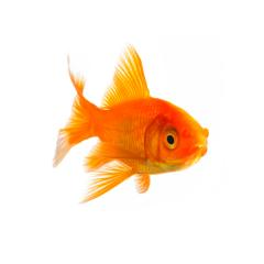 goldfisch zucht : Stock Photo or Stock Video Download rcfotostock photos, images and assets rcfotostock | RC-Photo-Stock.: