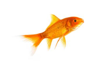 Goldfish- Stock Photo or Stock Video of rcfotostock | RC-Photo-Stock