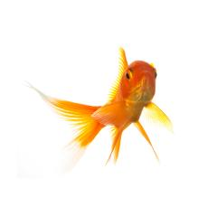 Goldfish : Stock Photo or Stock Video Download rcfotostock photos, images and assets rcfotostock | RC-Photo-Stock.: