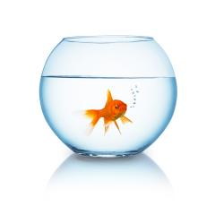 goldfish breathes in a fishbowl- Stock Photo or Stock Video of rcfotostock | RC-Photo-Stock