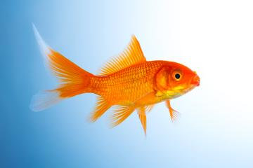 Goldfish breeding : Stock Photo or Stock Video Download rcfotostock photos, images and assets rcfotostock | RC-Photo-Stock.: