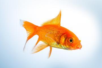 Goldfish (Carassius auratus) : Stock Photo or Stock Video Download rcfotostock photos, images and assets rcfotostock | RC-Photo-Stock.: