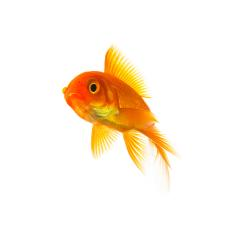 Goldfish Carassius auratus : Stock Photo or Stock Video Download rcfotostock photos, images and assets rcfotostock | RC-Photo-Stock.:
