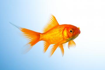 Goldfish (Carassius auratus) underwater : Stock Photo or Stock Video Download rcfotostock photos, images and assets rcfotostock | RC-Photo-Stock.: