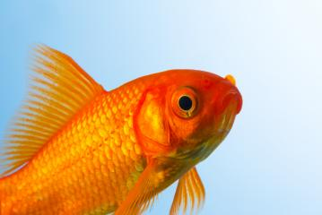 Goldfish close-up : Stock Photo or Stock Video Download rcfotostock photos, images and assets rcfotostock | RC-Photo-Stock.: