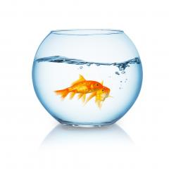 goldfish couple in a wavy fishbowl : Stock Photo or Stock Video Download rcfotostock photos, images and assets rcfotostock | RC-Photo-Stock.: