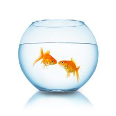 goldfish couple kiss in a fishbowl : Stock Photo or Stock Video Download rcfotostock photos, images and assets rcfotostock | RC-Photo-Stock.: