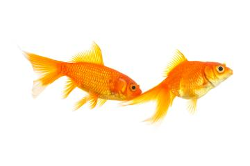 goldfish couple on white - Stock Photo or Stock Video of rcfotostock | RC-Photo-Stock