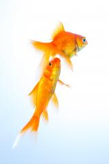 goldfish couple swims  : Stock Photo or Stock Video Download rcfotostock photos, images and assets rcfotostock | RC-Photo-Stock.: