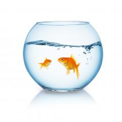 goldfish family in a fishbowl : Stock Photo or Stock Video Download rcfotostock photos, images and assets rcfotostock | RC-Photo-Stock.: