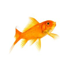 Goldfish float in water : Stock Photo or Stock Video Download rcfotostock photos, images and assets rcfotostock | RC-Photo-Stock.: