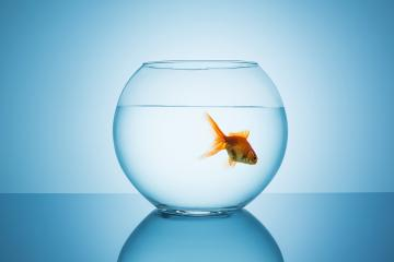 goldfish floats in a fishbowl : Stock Photo or Stock Video Download rcfotostock photos, images and assets rcfotostock | RC-Photo-Stock.: