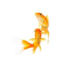 goldfish friends on white- Stock Photo or Stock Video of rcfotostock | RC-Photo-Stock