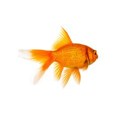 Goldfish from behind- Stock Photo or Stock Video of rcfotostock | RC-Photo-Stock