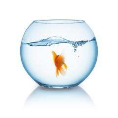 goldfish from behind in a fishbowl- Stock Photo or Stock Video of rcfotostock | RC-Photo-Stock