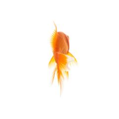 Goldfish from the rear : Stock Photo or Stock Video Download rcfotostock photos, images and assets rcfotostock | RC-Photo-Stock.: