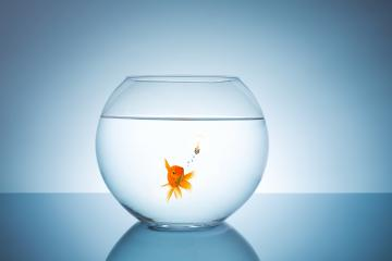 goldfish has an idea : Stock Photo or Stock Video Download rcfotostock photos, images and assets rcfotostock | RC-Photo-Stock.: